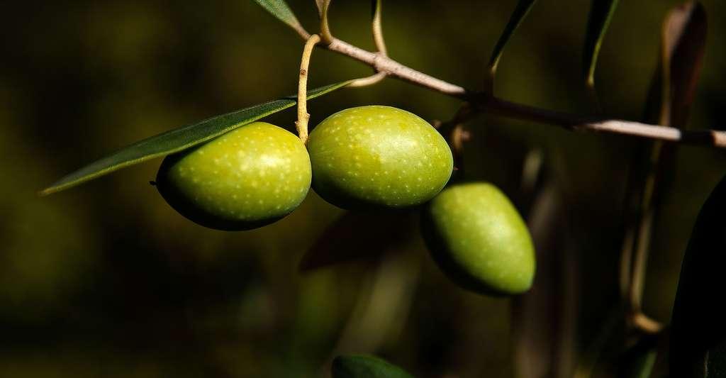 Olives vertes. © Caropat, Pixabay, DP