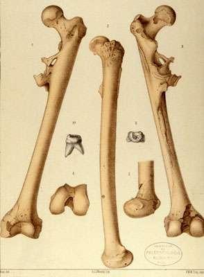 La première publication du Pithecanthropus erectus par Eugène Dubois en 1894. © Bibliothèque IPH, MNHN