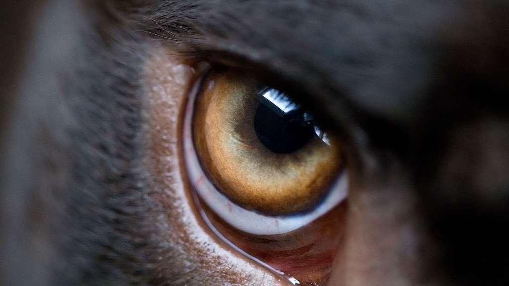 Le regard expressif du labrador