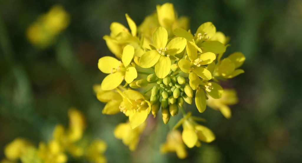 La moutarde piège remarquablement bien les nitrates contenus dans les sols. © jtronocbc, Pixabay, CC0 Creative Commons