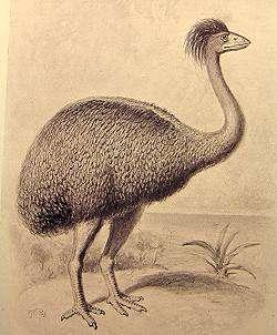 Dessin d'un spécimen d'Æpyornis maximus, un oiseau-éléphant vivant autrefois à Madagascar. © Wikimedia Commons, DP