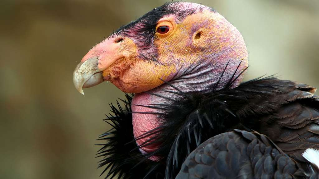 Le condor de Californie, deuxième plus grand rapace