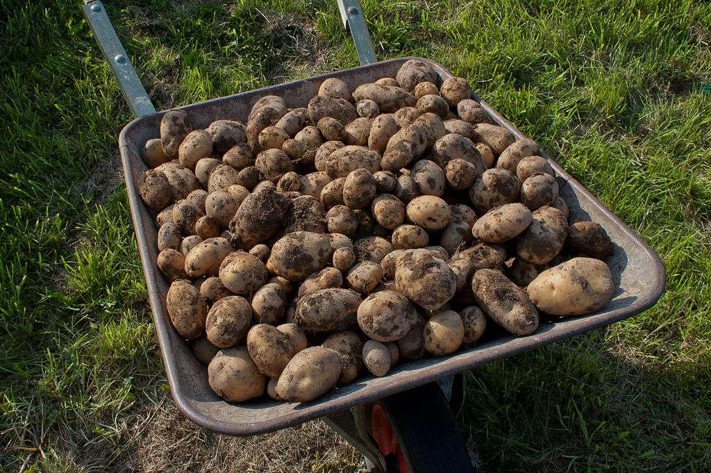 La récolte des pommes de terre. © Alupus, CC by-nc 3.0