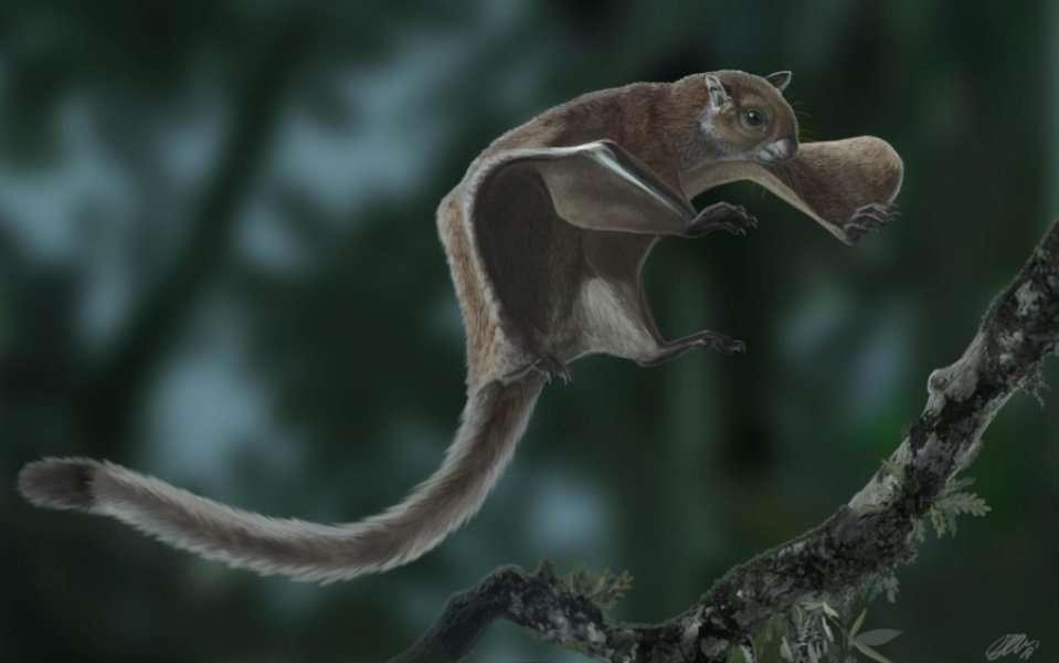 Reconstitution de l'écureuil volant fossile Miopetaurista neogrivensis, dont l'analyse apporte un nouvel éclairage sur l'origine et l'évolution des écureuils volants. © Oscar Sanisidro, CC By-NC-SA 4.0