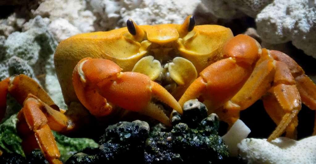 Le crabe de Clipperton, Gecarcinus johngarthia planatus. © Cedric Guppy, Wikimedia commons, CC by-sa 4.0