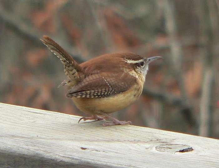 Le troglodyte de Caroline (Thryothorus ludovicianus) est un oiseau chanteur. © Ken Thomas, DP