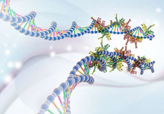 Les protéines XRCC4 et XLF forment des gaines autour des deux fragments d'ADN générés lors d'une cassure et agissent comme des velcros pour les maintenir ensemble en vue de la réparation. © Wilma et Davide Normanno