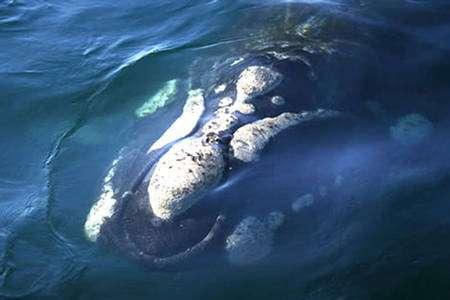 Baleine franche du Groenland. © R. Bingham - Libre de droit pour usage éducatif