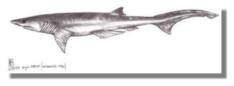Un hexanchiforme, les premiers requins modernes à apparaître dans le registre fossile © Dessin Alain Beneteau