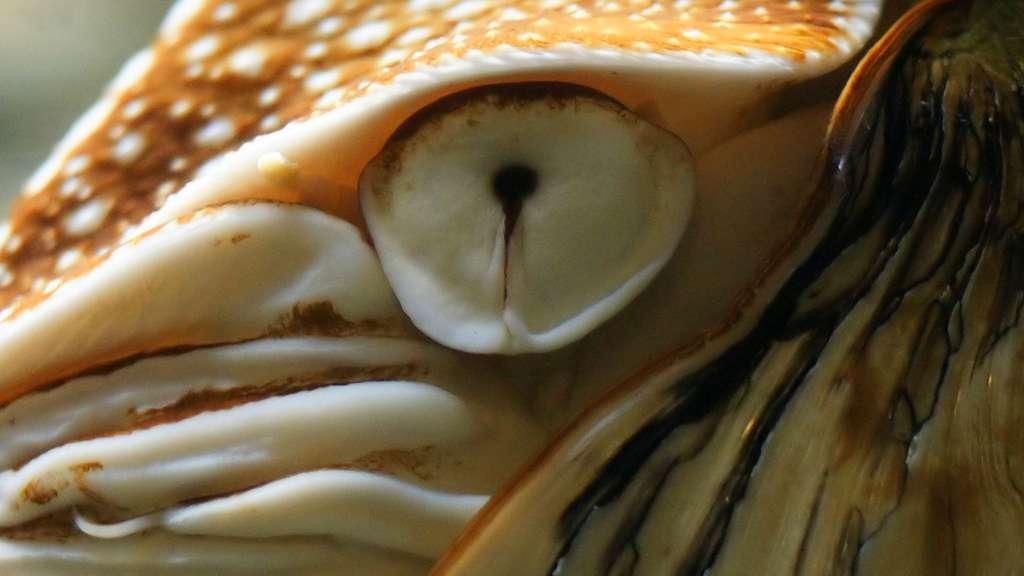 L'œil primitif du nautile et l'évolution de l'œil