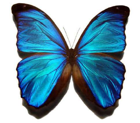 Morpho bleu, Morpho menelaus (L., 1758) (Nymphalidé) (Pérou, Brésil, Bolivie). © Gregory Phillips - Licence de documentation libre GNU, version 1.2