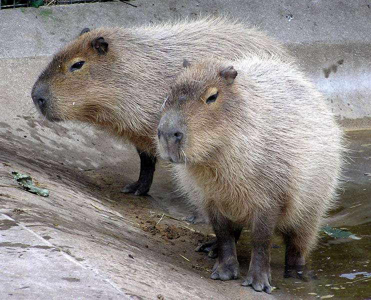 Capybaras. © Adrian Pingstone, domaine public