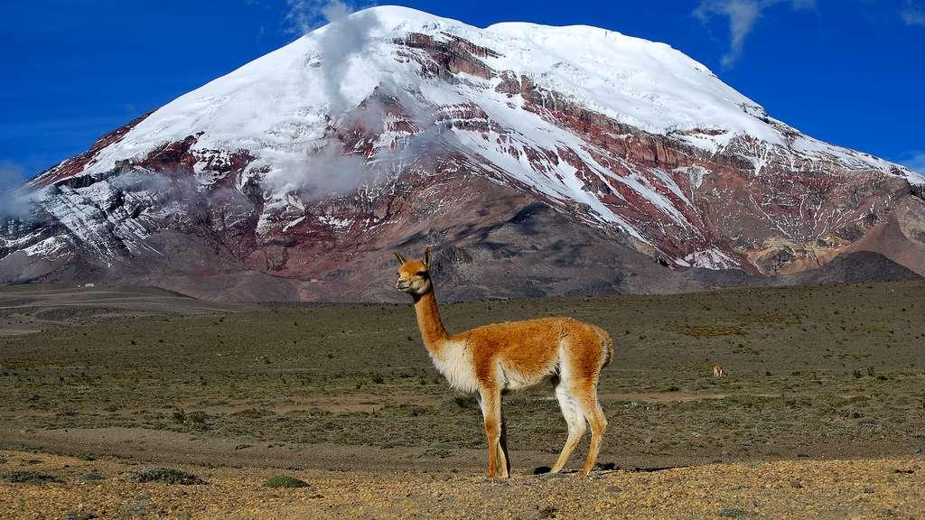 La vigogne, un animal des hauteurs