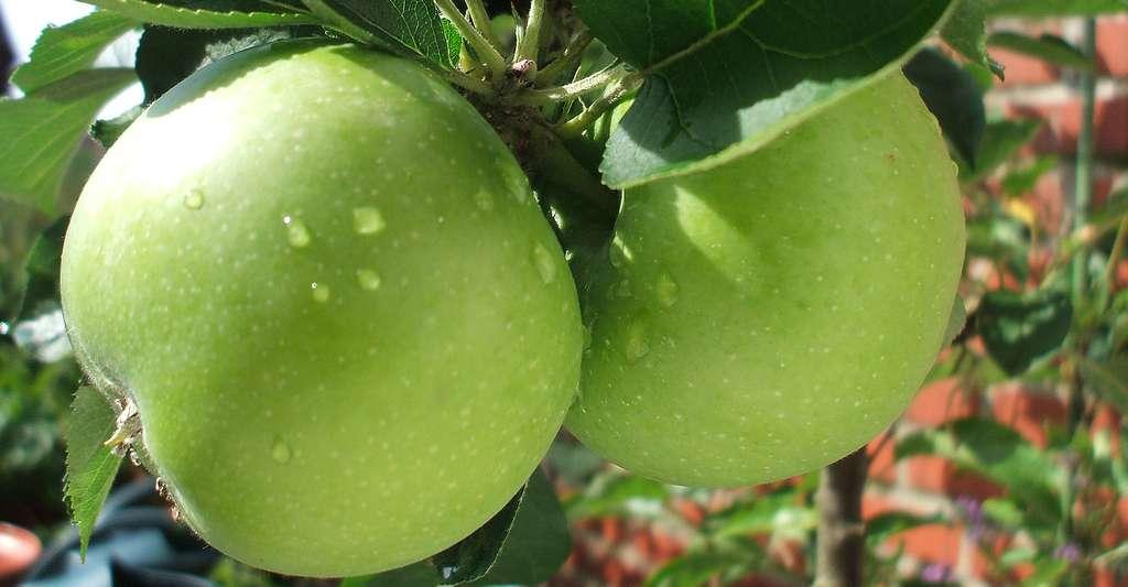 Pommes de Malus ballerina, dans le Nord, en France. © Fievet, Wikimedia Commons, DP