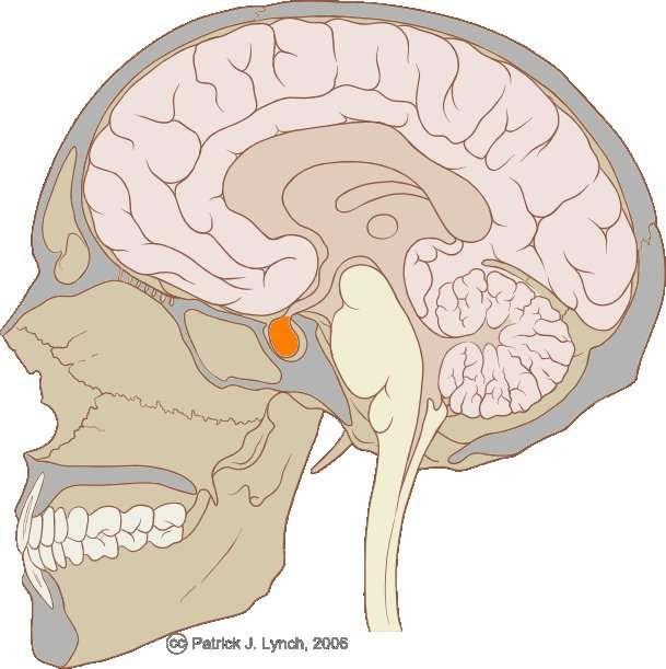 L'hypophyse, de couleur orange sur ce dessin, est une glande endocrine, donc productrice d'hormones. Elle est directement connectée à l'hypothalamus, ici représenté comme une sorte de serpentin s'évasant vers le haut. Sous le contrôle du cerveau, hypothalamus et hypophyse régulent plusieurs fonctions de l'organisme. © Patrick J. Lynch / Licence Creative Commons