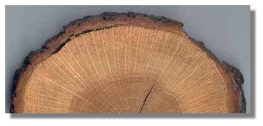 Figure 14 Coupe transversale de tronc de chêne. Du centre vers la périphérie, on observe le coeur de couleur foncée, l'aubier plus clair et l'écorce. L'aubier et le coeur sont formés de cernes concentriques. © Photo R. Prat