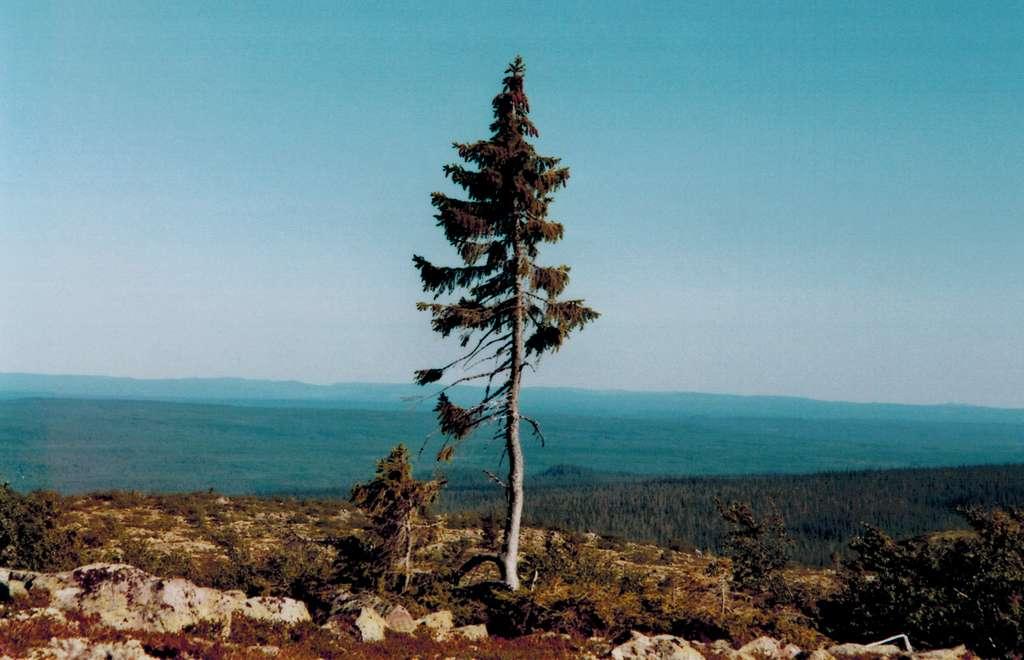 Le Vieux Tjikko est le plus vieil arbre clonal du monde. © Karl Brodowsky, Wikipedia