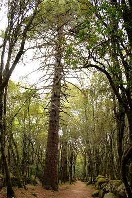 Le Pinus pinaster aussi appelé Pin des Landes est sensible aux champignons. © Jean-Pol Grandmont, CC 3.0