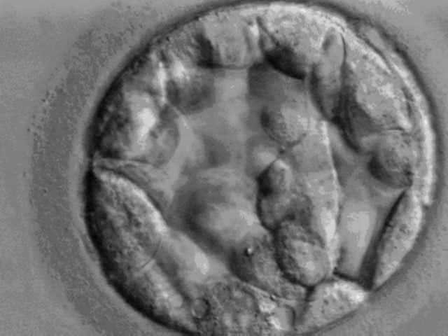 À cinq jours, un embryon est au stade blastocyste et ressemble à cela. C'est à ce stade que les cellules dont l'ADN est séquencé sont prélevées. © Ekern, Wikipédia, DP