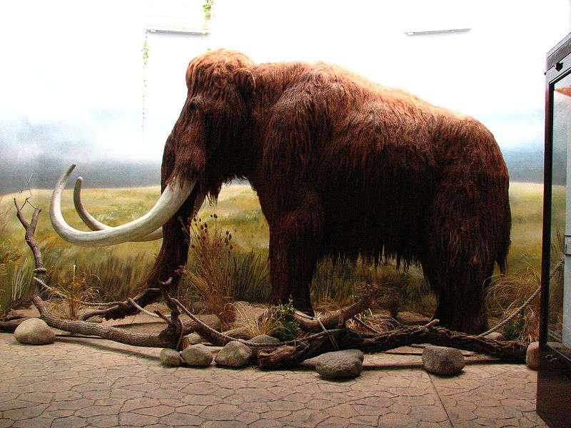 On compte 11 espèces de mammouths, toutes disparues. Membres de la famille des éléphantidés, ces grands mammifères étaient des cousins des éléphants actuels et non leurs ancêtres. © Mistvan, GNU 1.2