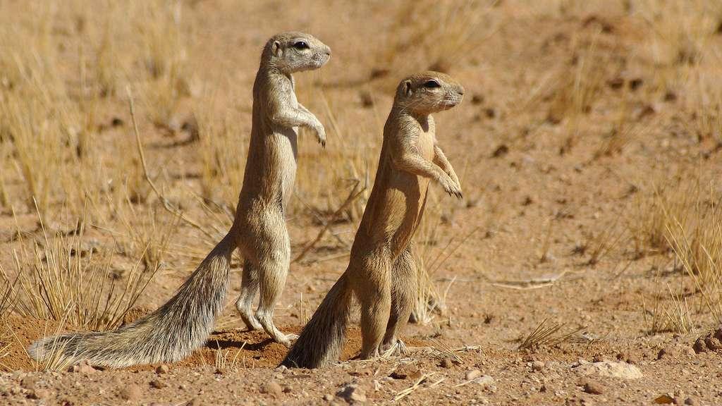Pour ces écureuils, une queue en guise d'ombrelle