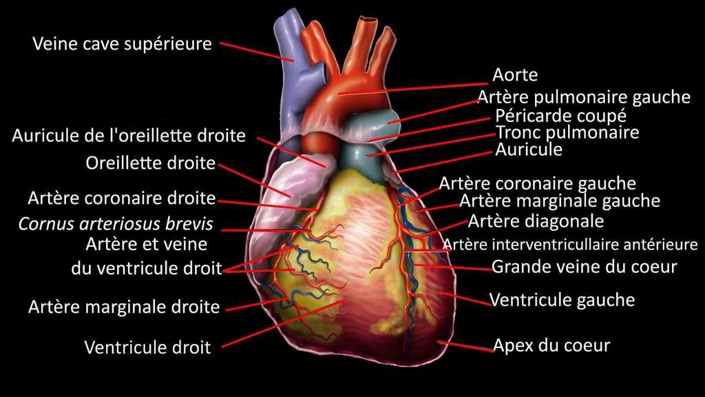 Anatomie du cœur humain