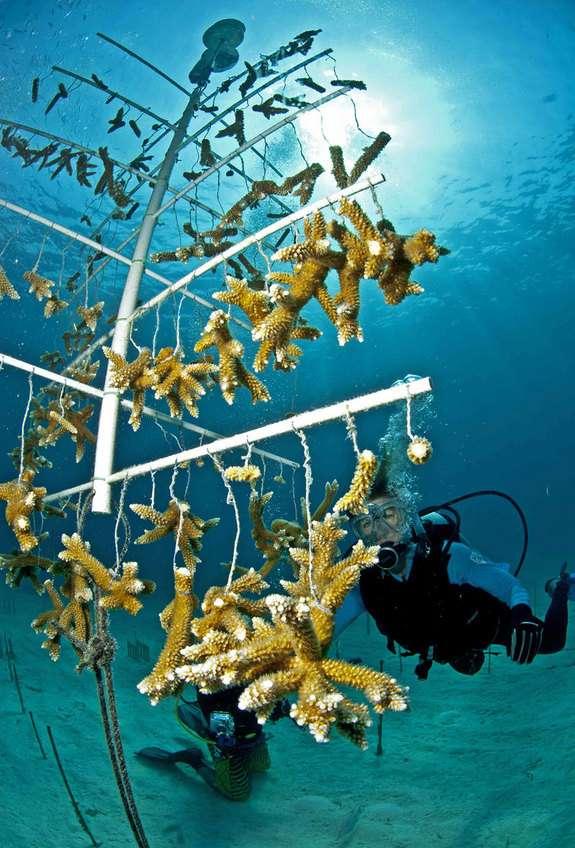 Une nurserie de coraux