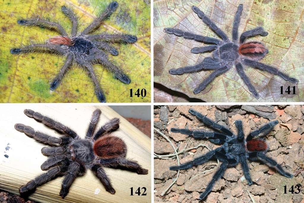 L'Iridopelma katiae est l'une des quatre espèces du genre Iridopelma découverte au Brésil. Les photos 140 et 141 montrent des juvéniles, la 142 une femelle adulte et la 143 un mâle adulte. © Rogério Bertani, CC-BY 3.0