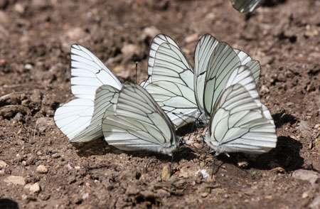 Le gazé est reconnaissable à ses ailes blanches aux nervures noires. © Benjamin Bergerot