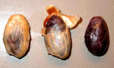 Graines de cacao avec et sans mucilage. © DR