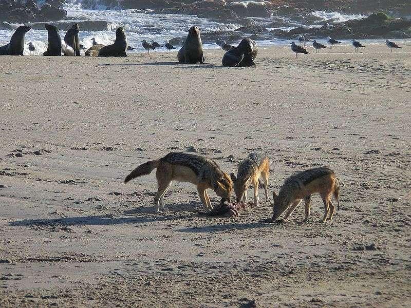 Chacal sur la côte de Namibie. © Harald Süpfle - CCA-S A 2.5 Generic license