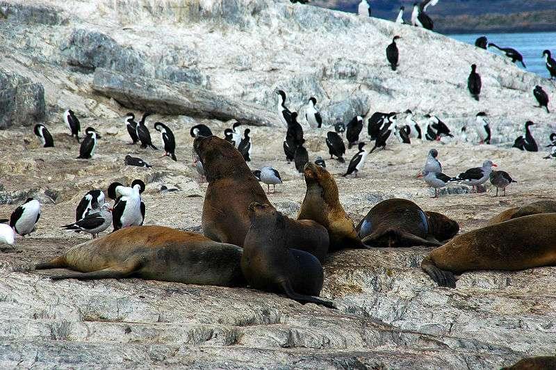 Otaries à crinière et pingouins. © Mirko Thiessen, CCA-SA 2.5 Generic license