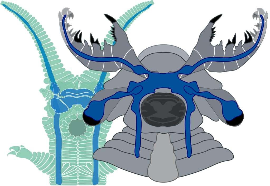 Comparaison des « cerveaux » (en bleu) de l'anomalocaride fossile, à droite, et d'un péripate actuel, à gauche. Chez les deux animaux, une masse cérébrale unique est installée en avant de la bouche (la forme gris foncé sur le dessin de droite). Deux ganglions nerveux, à l'avant, sont solidaires des nerfs qui innervent les antennes du péripate ou les gros appendices frontaux de l'anomalocaride. Les ganglions optiques sont jointifs des yeux. © Nicholas Strausfeld, University of Arizona