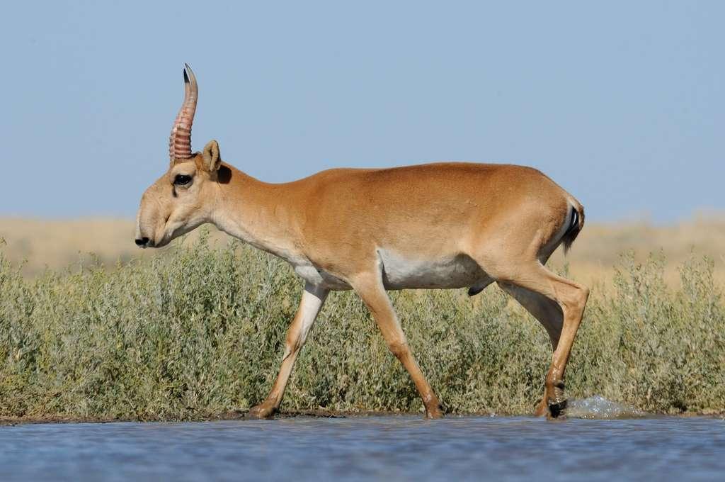 L'antilope saïga est en danger d'extinction. © Victor Tyakht, Fotolia
