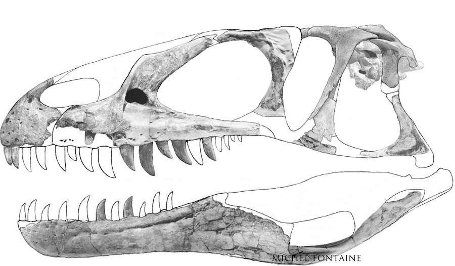 Crâne incomplet, complété ensuite. © Michel Fontaine