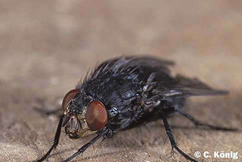 Diptère : Calliphora vicina, mouche à viande © C König Reproduction et utilisation interdites