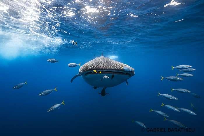 Requin-baleine escorté par un banc de bonites qui me fait face, un moment aussi éphémère que magnifique. © Gabriel Barathieu, tous droits réservés