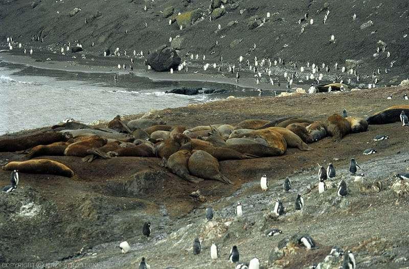 Colonie d'éléphants de mer du Sud. © Jerzy Strzelecki, GNU FDL Version 1.2
