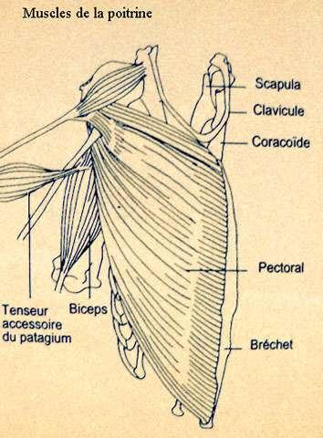 Musculature de la poitrine d'oiseau. © Reproduction et utilisation interdites