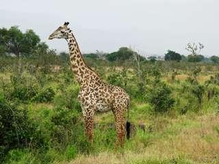 Des cas mystérieux de girafes naines observés en Afrique