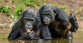 Vers un déclin massif des grands singes dans les 30 ans à venir?