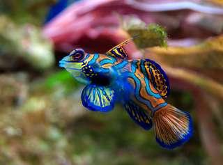 344789ea61_50174304_fssynchiropus-splendidus-2-poisson-mandarin.jpg