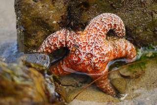 La plus ancienne étoile de mer découverte dans le « Pompéi de la paléontologie »