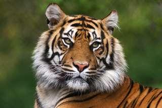 Regardez ce tigre se ruer vers la liberté !