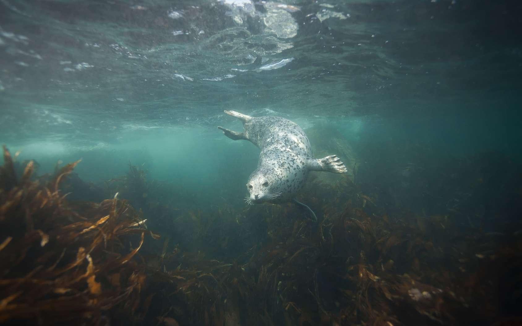 Lors d'une plongée en Bretagne, il n'est pas rare de croiser des phoques gris. © Valerijs Novickis, fotolia