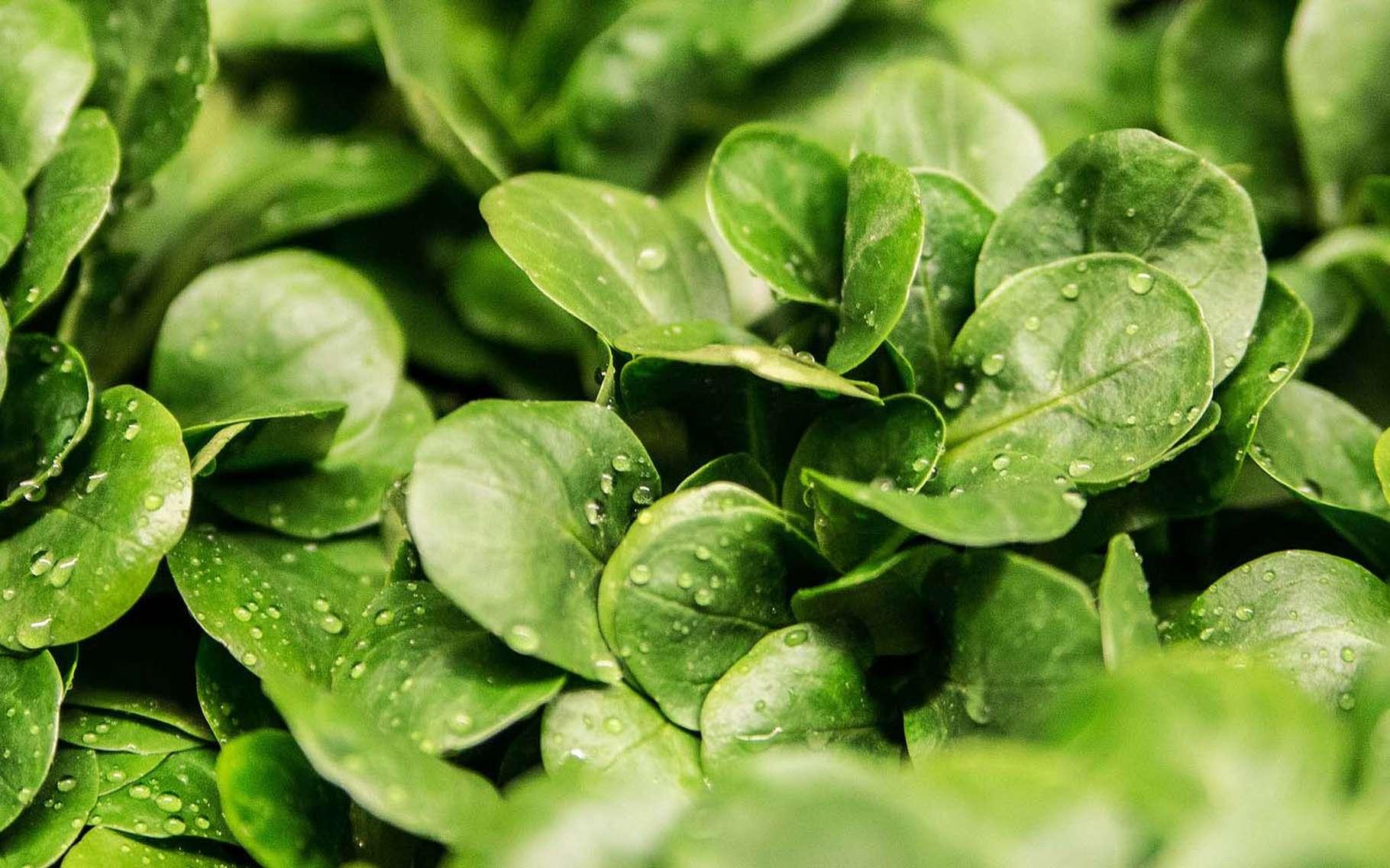Mâche à petites feuilles peut être semée de juillet à octobre. © Ejaugsburg, Pixabay, DP