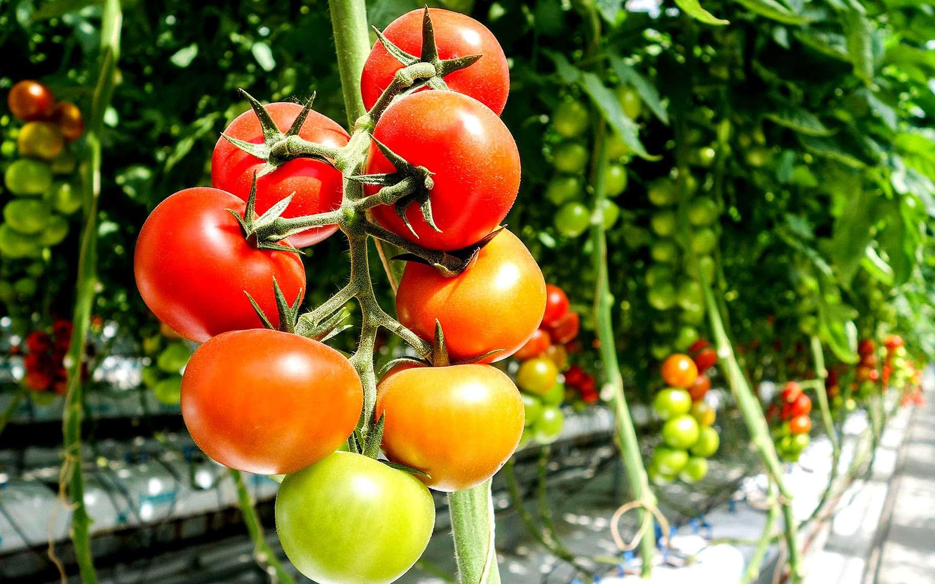 Tomate : la culture hors-sol | Dossier