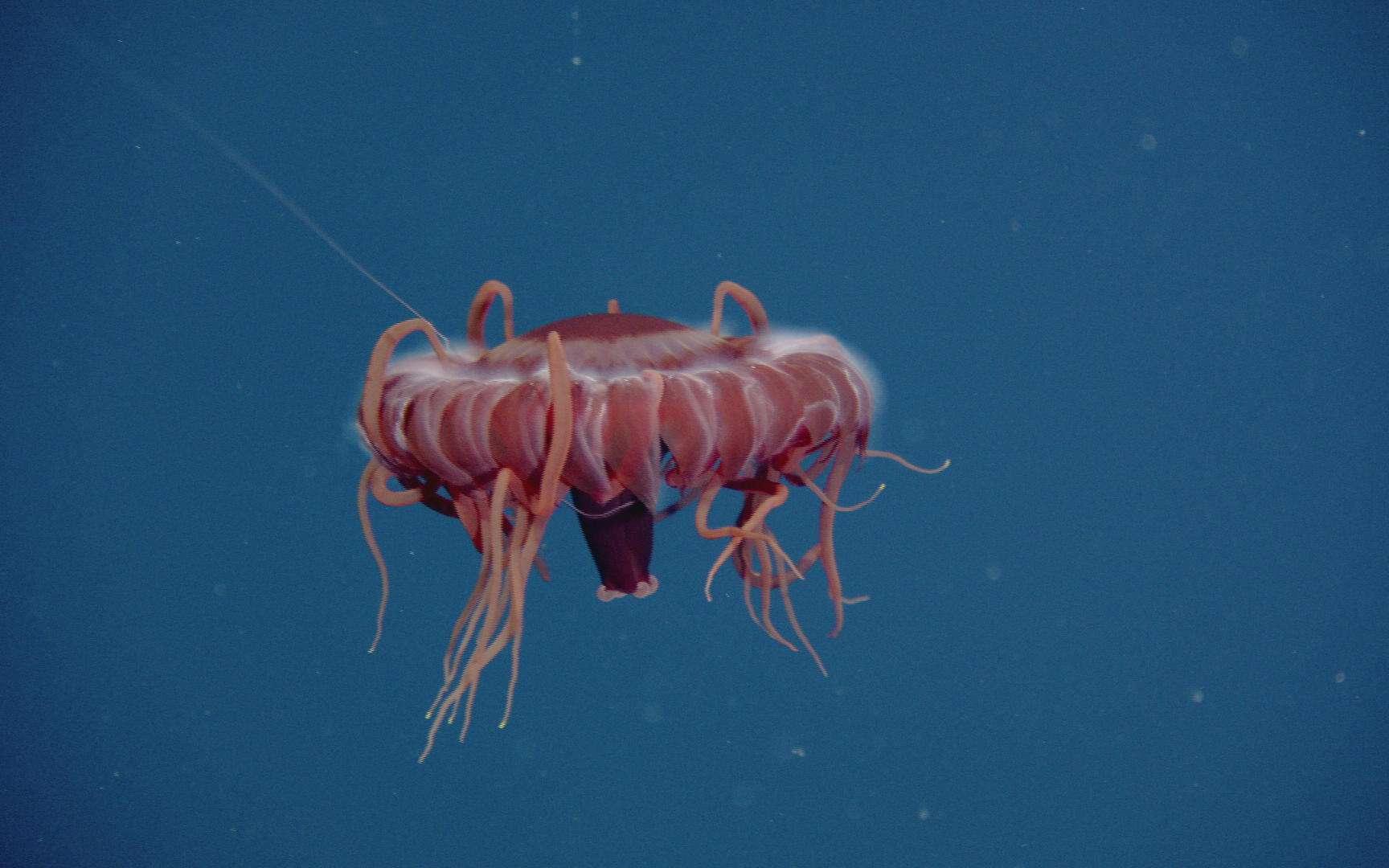 Cette méduse est une espèce inconnue, découverte durant la mission Wiring Abyss 2012, à 1.978 m de profondeur. © Neptune Canada, CSSF, cc by nc sa 2.0