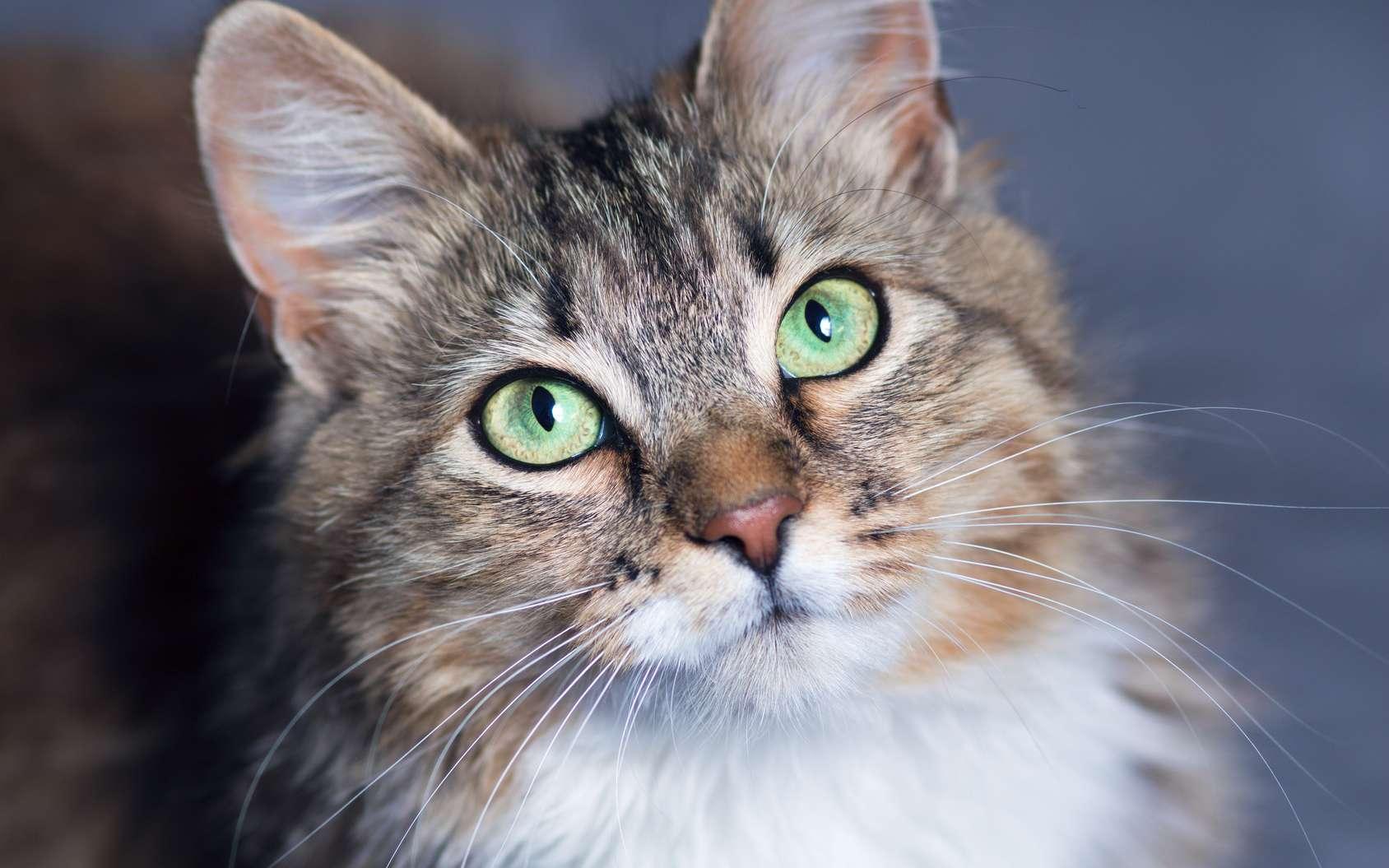 Comment la domestication du chat a-t-elle eu lieu ? Ici, portrait d'un chat domestique (Felis catus). © fantom_rd, Fotolia