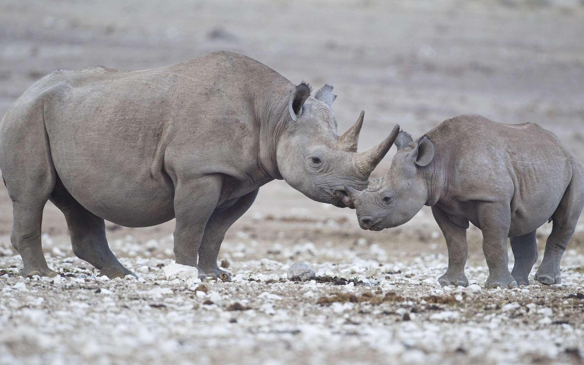 Une femelle rhinocéros noir avec son petit dans le parc national d'Etosha. © Yathin S Krishnappa, Wikimedias Commons, CC by-sa 3.0